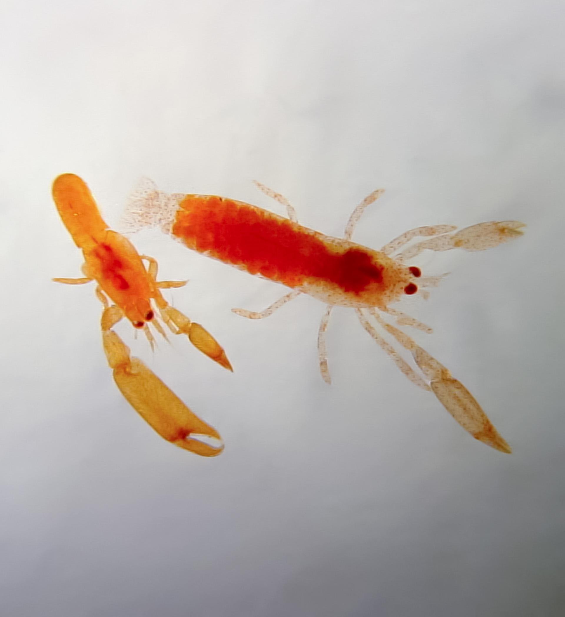 Drobné krevety druhu Typton carneus mají takřka totožnou barvu jako houby, v nichž žijí, přestože jim přímá predace téměř nehrozí. Toto zbarvení je patrně pouze průvodním jevem konzumace tkání houby.