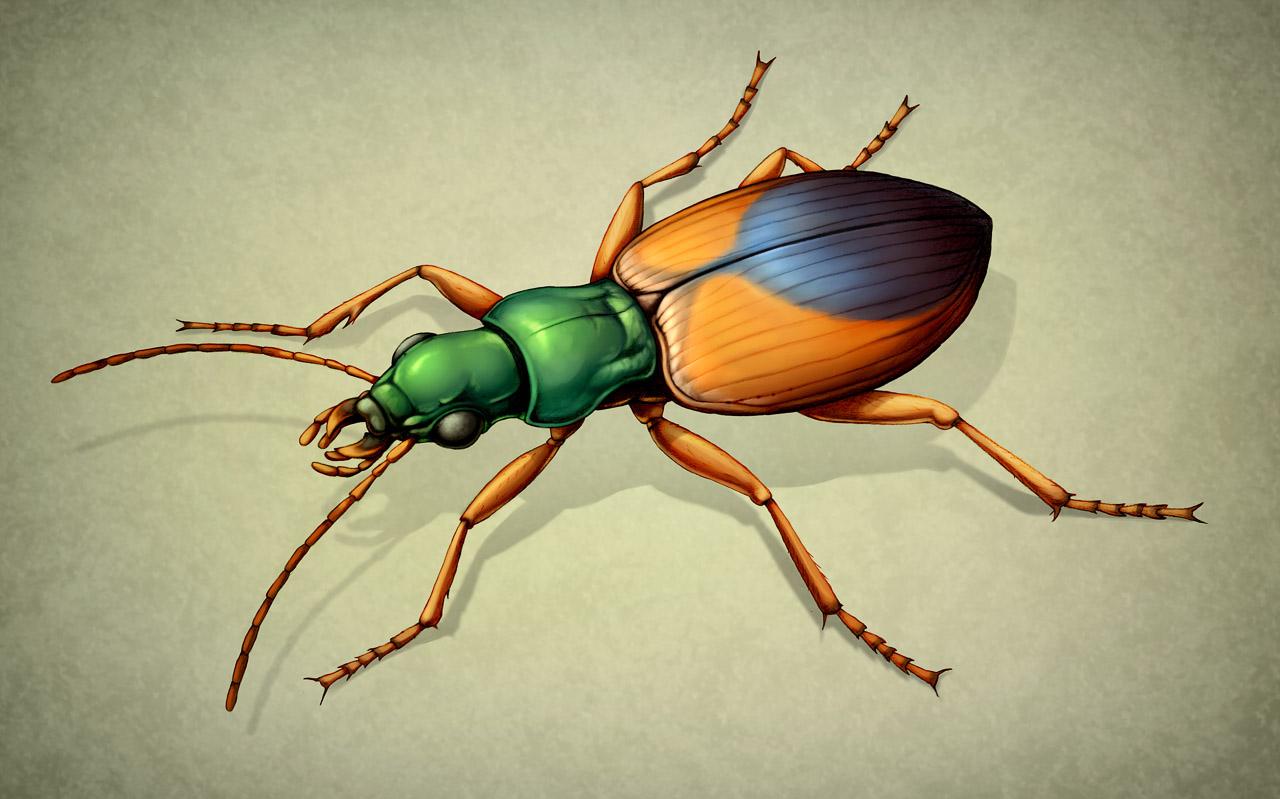 Střevlíček  Anchomenus . I když je  A. dorsalis  pouze 7 mm velký brouk z čeledi střevlíkovití (Carabidae), přesto patří mezi důležité predátory mšic. Ilustrace tužkou pro bakalářskou práci, počítačově dobarveno. Orig. J. Růžičková, 3. místo v Objevitelské kategorii