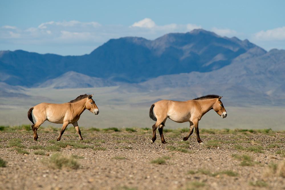 30. června 2013, Tachin Tal  Ne všichni koně v oblasti Tachin Talu však utečou ihned, jakmile uvidí člověka. Původně německá klisna Zur spolu s mongolským hřebcem Aptekem pózovali naopak ochotně.  TECHNIKA: Nikon D800, Sigma 300 mm f/2,8 APO EX DG HSM, čas 1/3200 s, clona f/7,1, ISO 400, korekce −1,0 EV