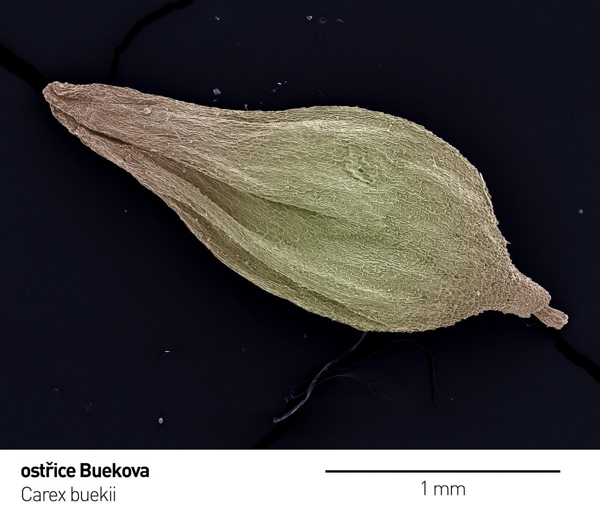 Carex_bueckii 1 a x.jpg