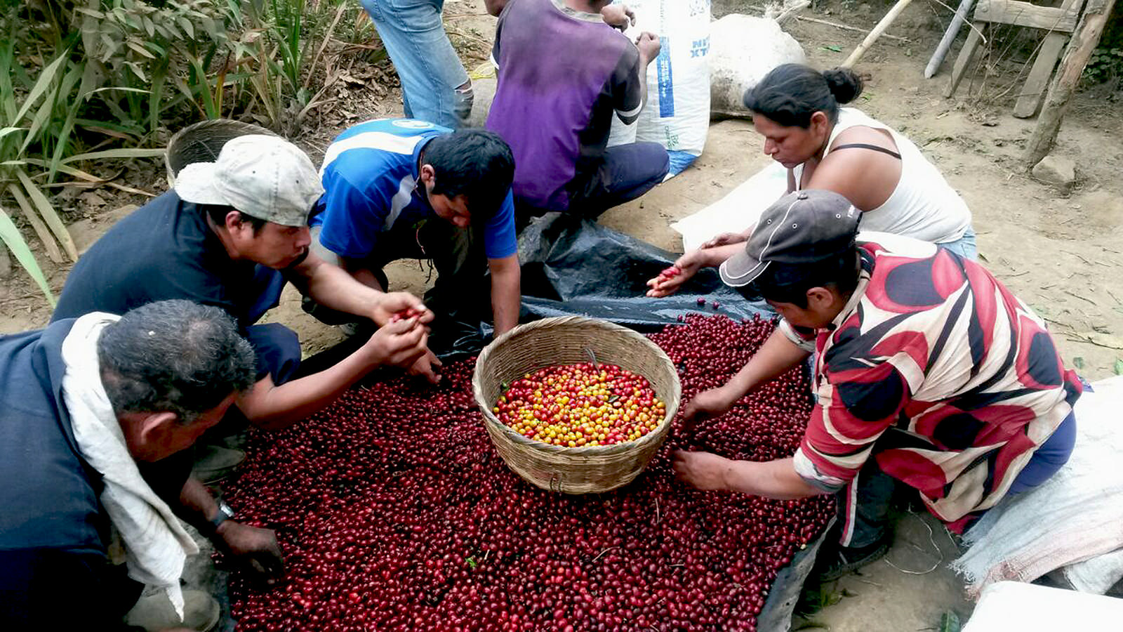 Antonio, El Aguila's Farm Manager trains the pickers only to select the very ripest cherries