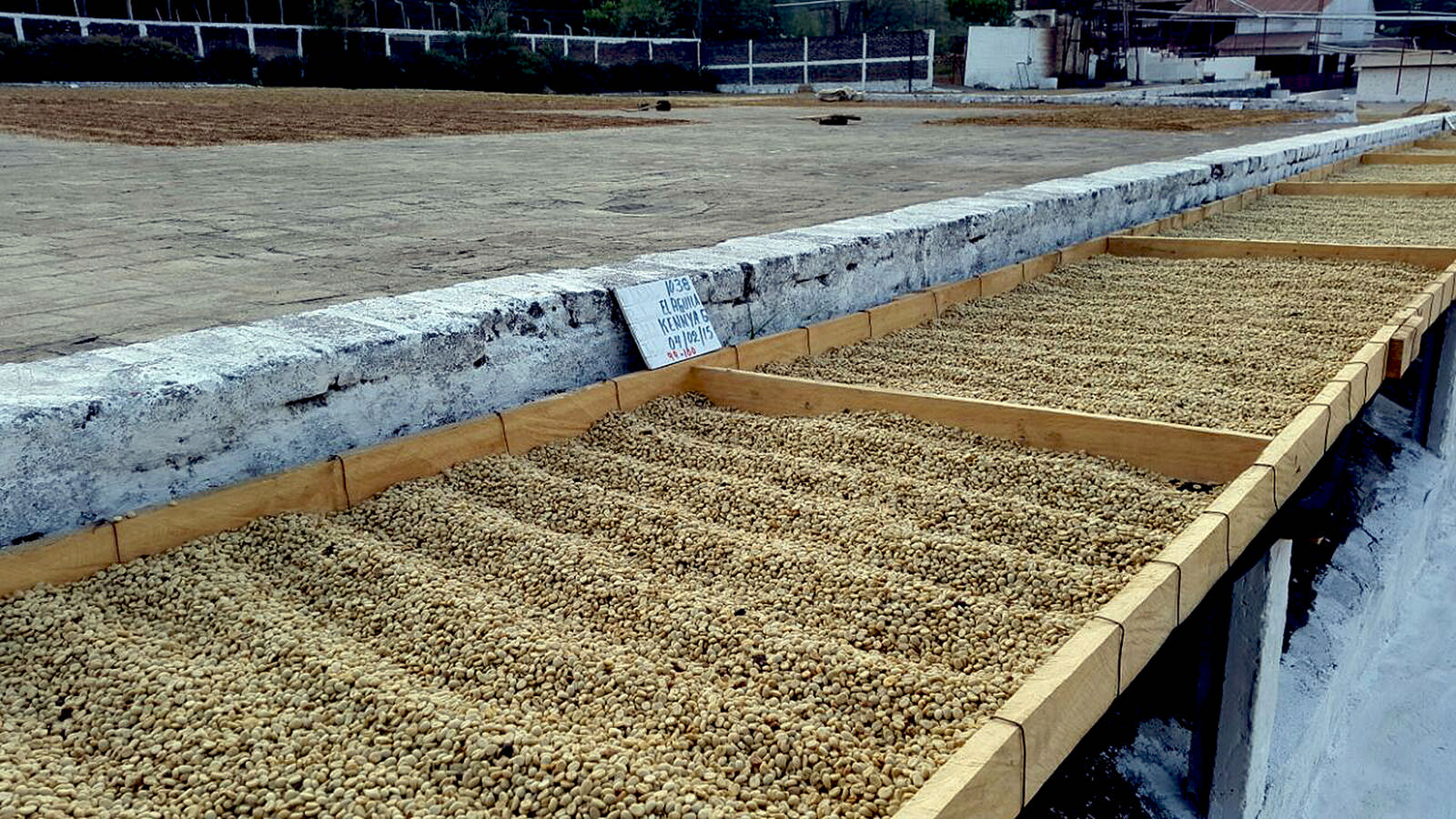 After the cherries get pulped and fermented, it gets washed and dried on patios in the sun for 16 days.