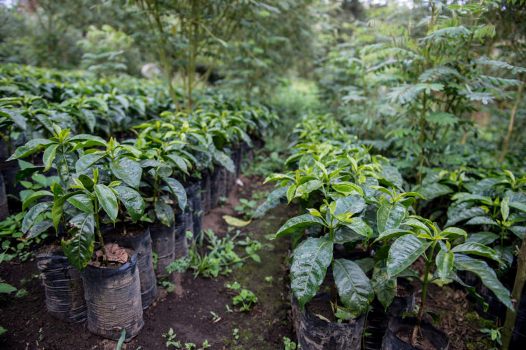 The nursery, where new coffee seedlings are grown under shade.