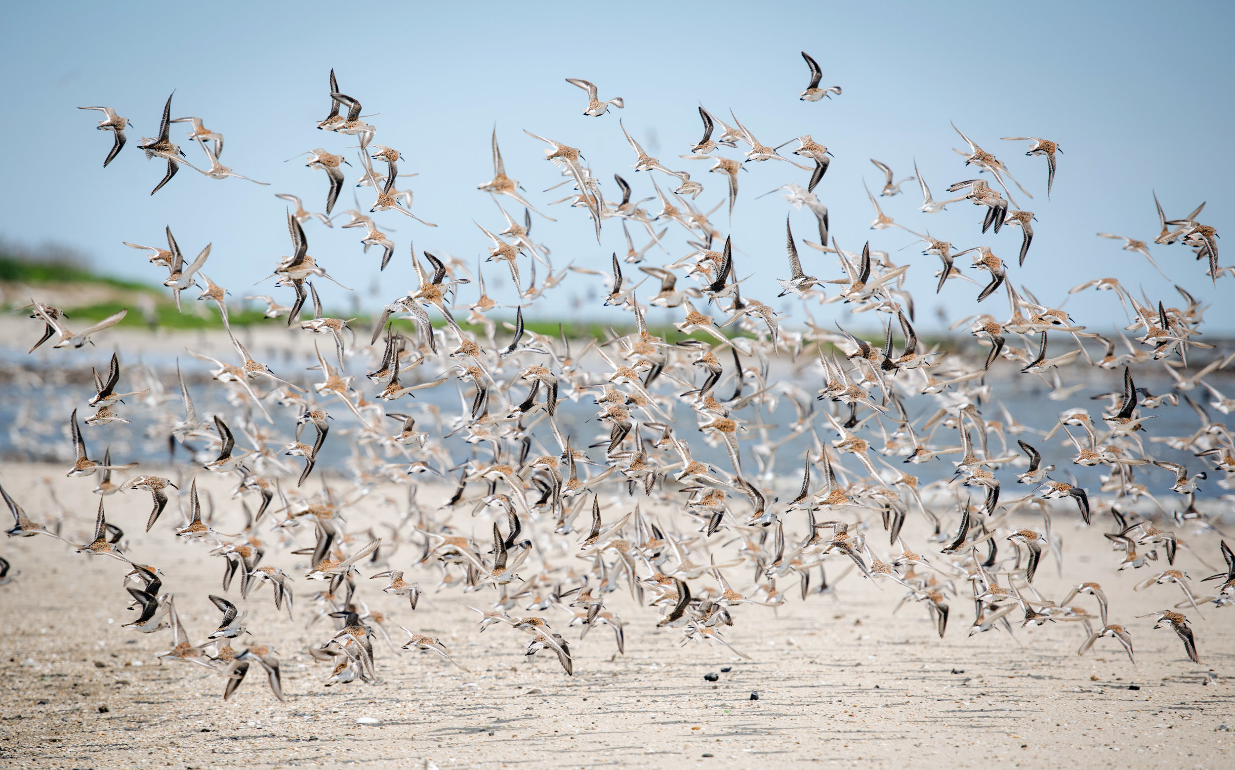NRWF_Shorebirds_0126.JPG