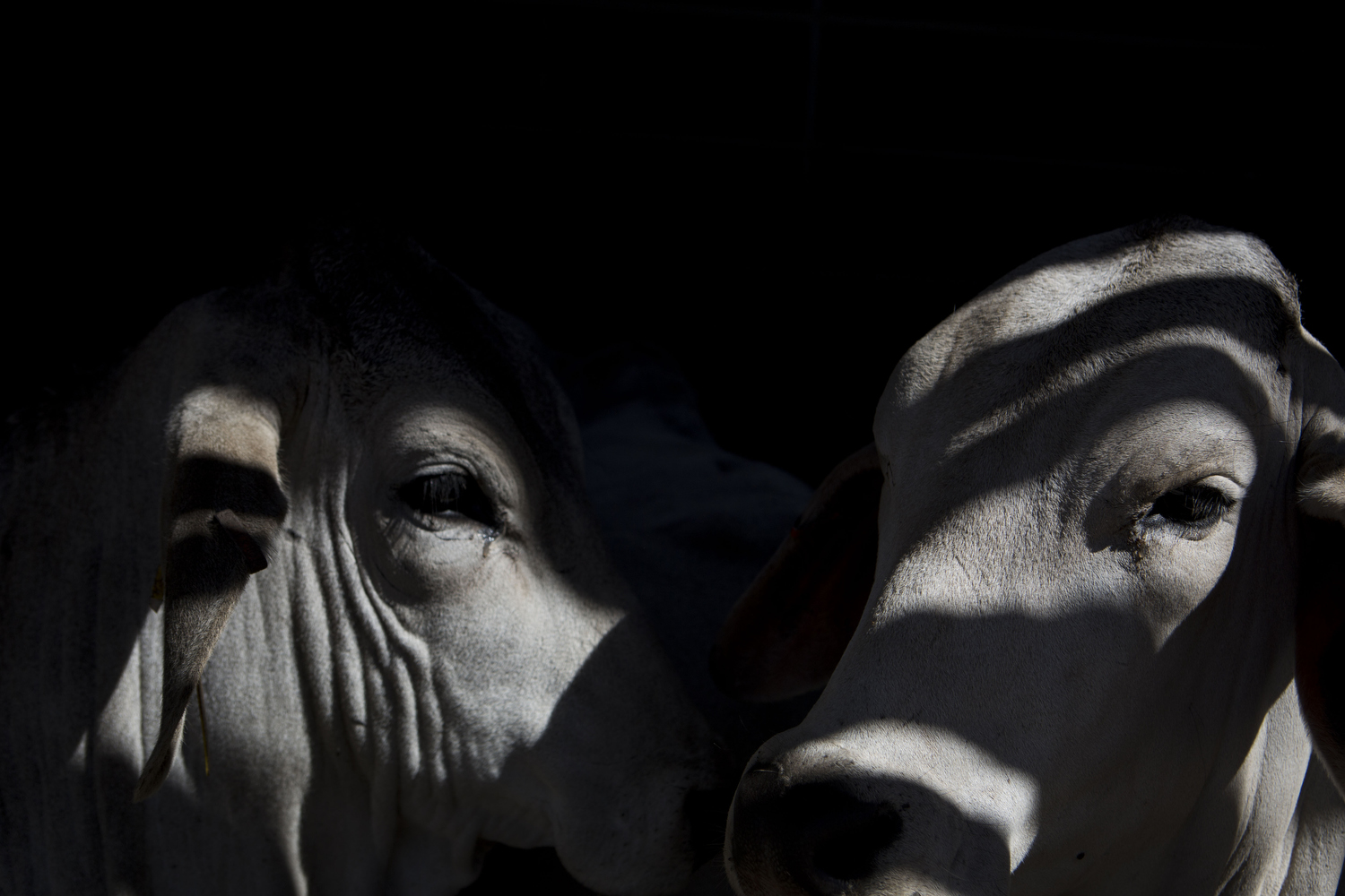 Brahman cattle lay down together in a barn at the San Antonio Stock Show and Rodeo in San Antonio, TX on Wednesday, February 18, 2015.