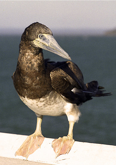 The brown booby. I hope that's, uh, how you spell that.