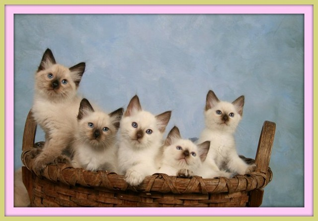 Siamese Kittens And Balinese Babies