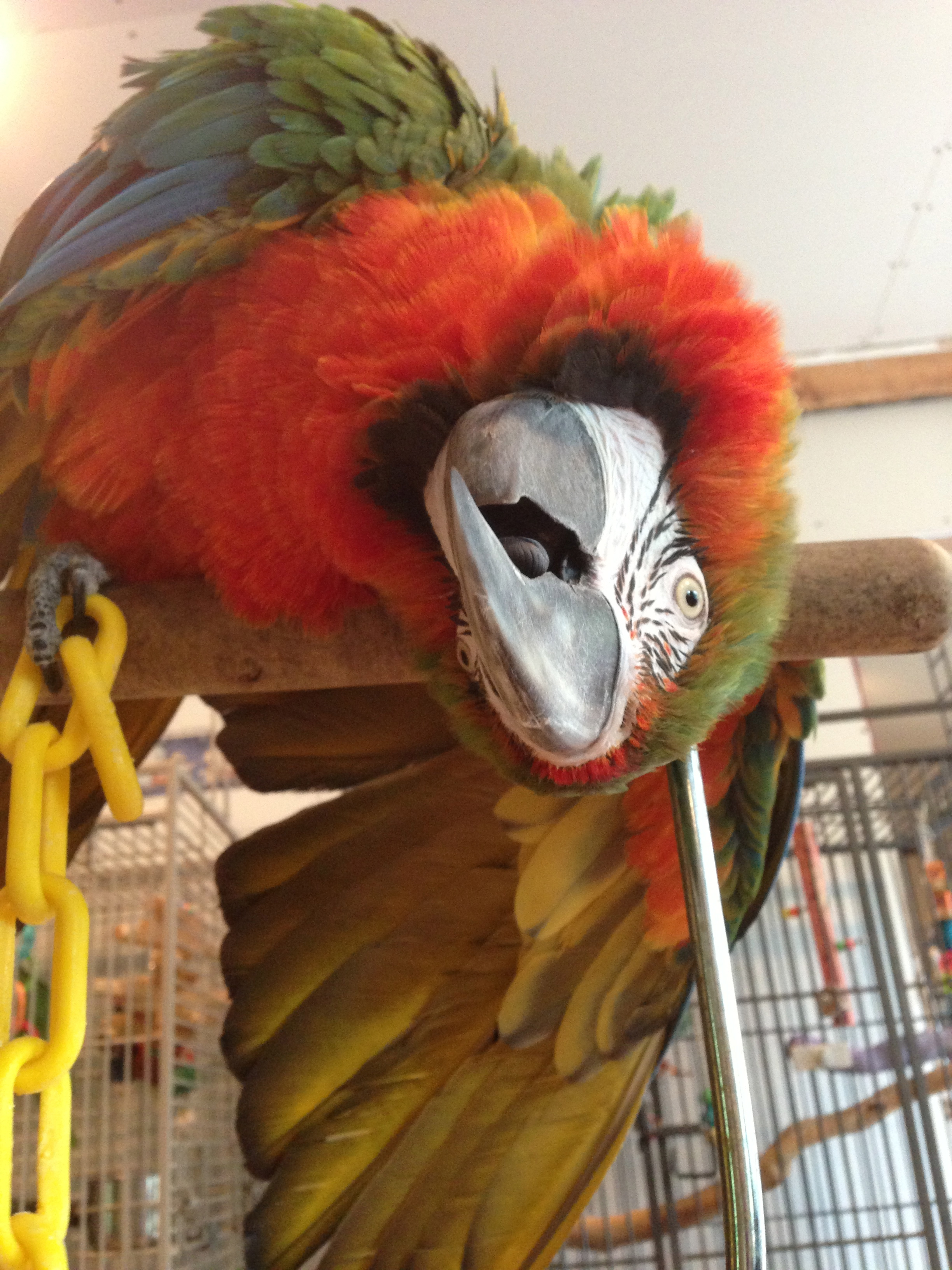 Carlos - Harlequin Macaw