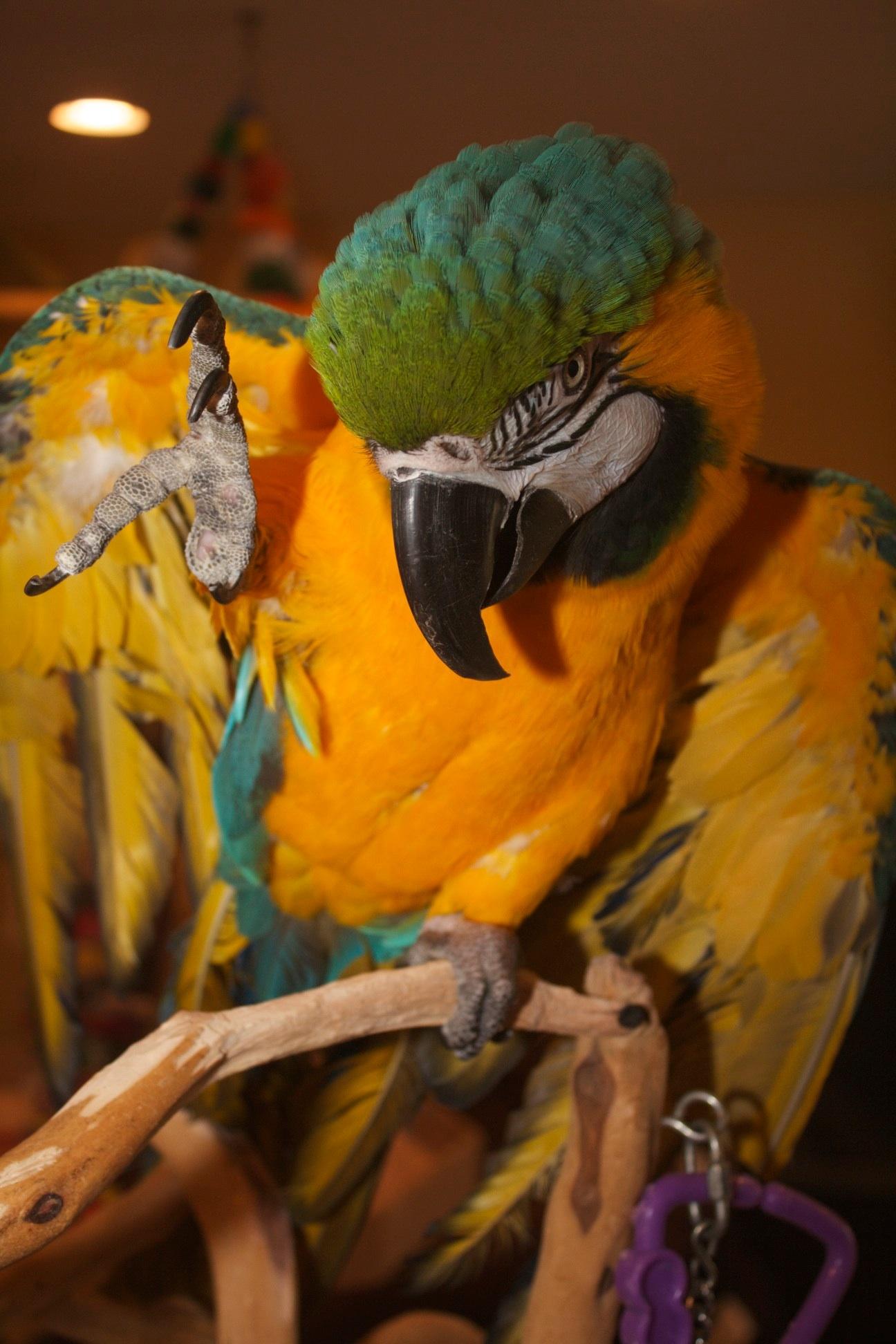 Barney - Blue& Gold Macaw