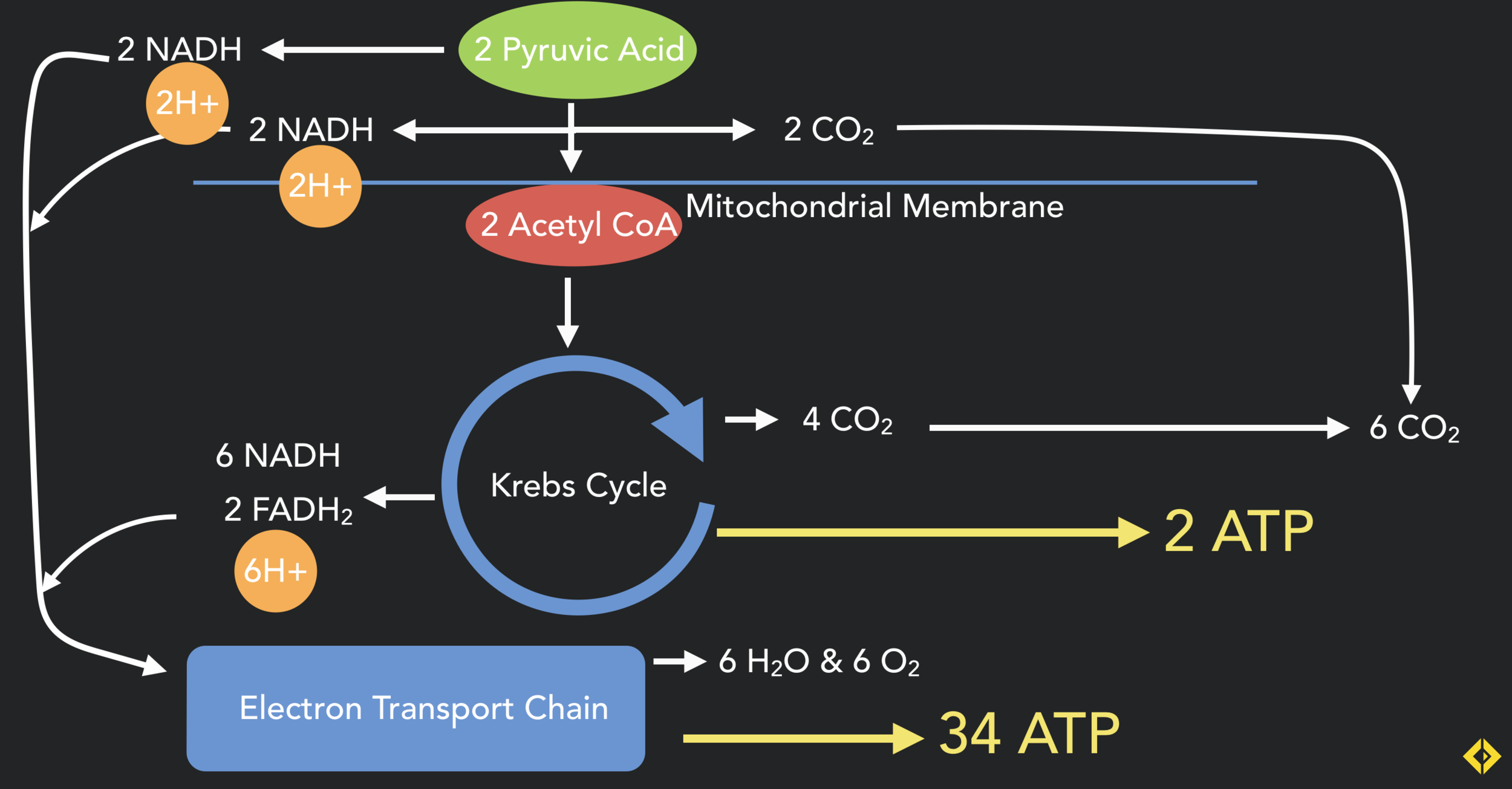 The ATP production process within the mitochondria, the pyruvate produced at the end of aerobic glycolysis is converted to acetyl CoA and enters the Krebs (citric acid) cycle. The real energetic power house of the mitorchondria is the electron transport chain which takes Hydrogen ions, NADH and FADH and pumps out huge amonuts of ATP.