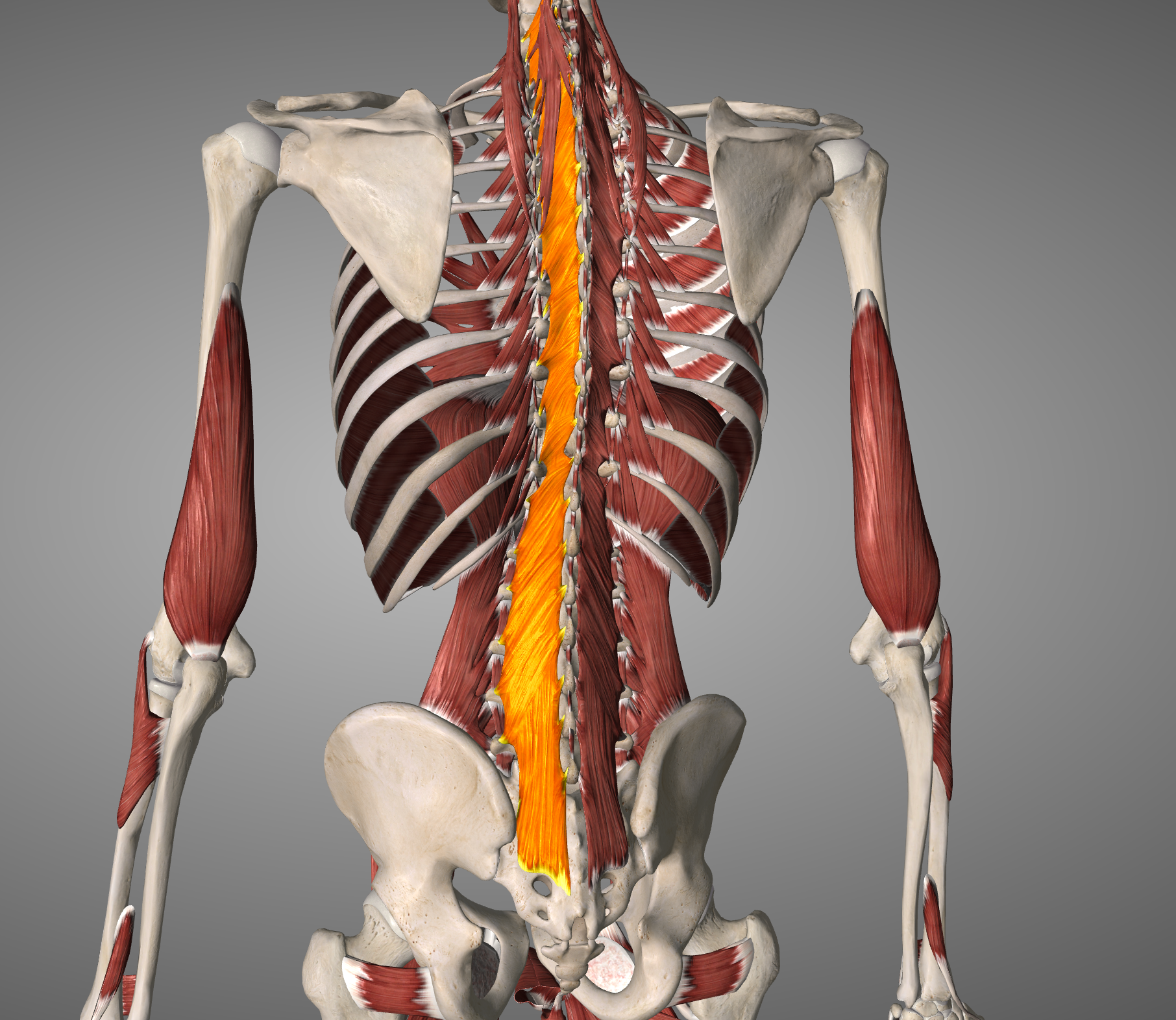 Multifidus runs the entire length of the spine connecting each vertebrae to the one above and below. This article is focused on the lumbar portions of multifidus.