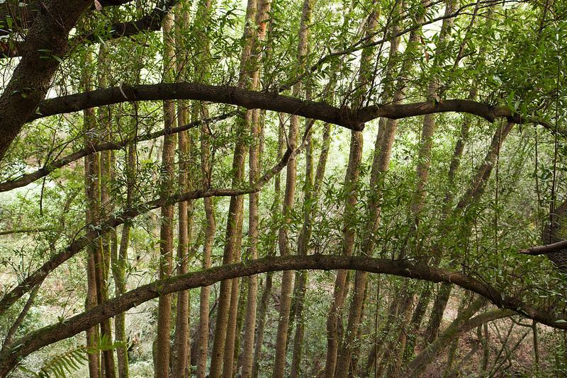 Bay Laurel trees along the lower Pinehurst Trail.