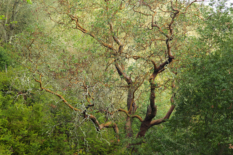 Madrone tree reaches out to the hiker...