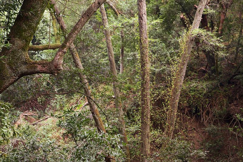 Vines climbing the trees on the lower Pinehurst Trail.