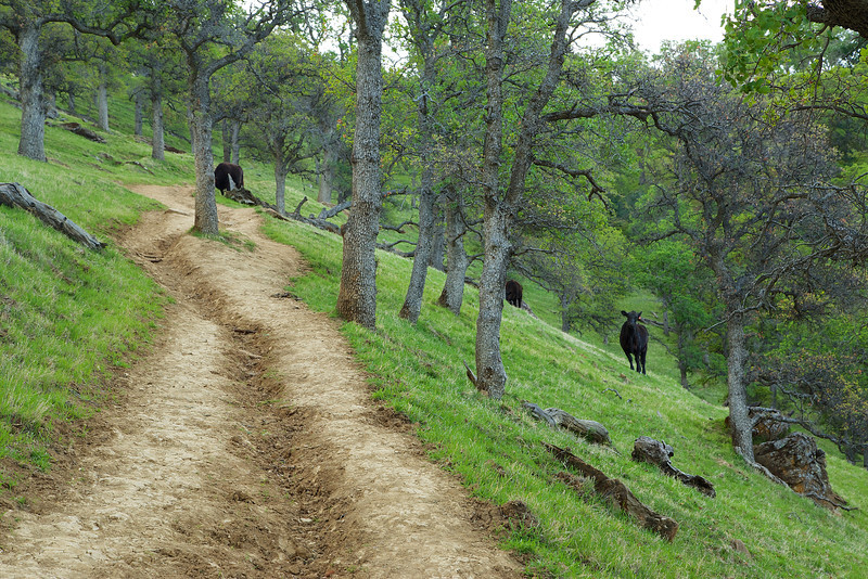 Grazing cows along the Hardy Canyon Trail