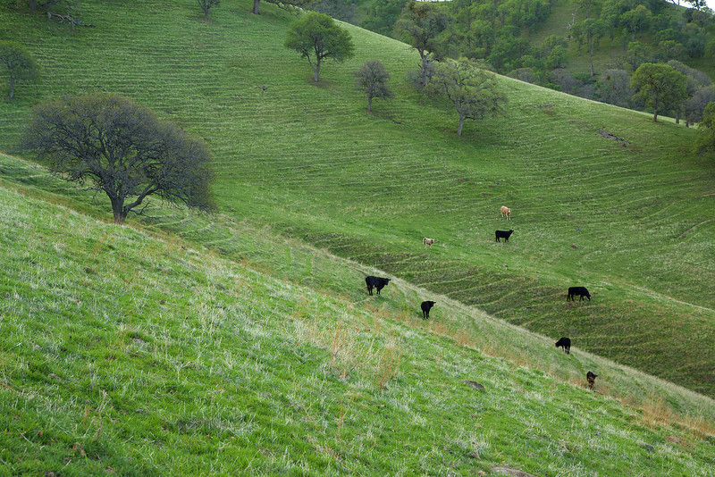 Cows along the hillside. Those ridges are called terracettes, occurring when wet soil becomes saturated and heavy, slides down, and then dries. This is further exacerbated by the trampling of cows.
