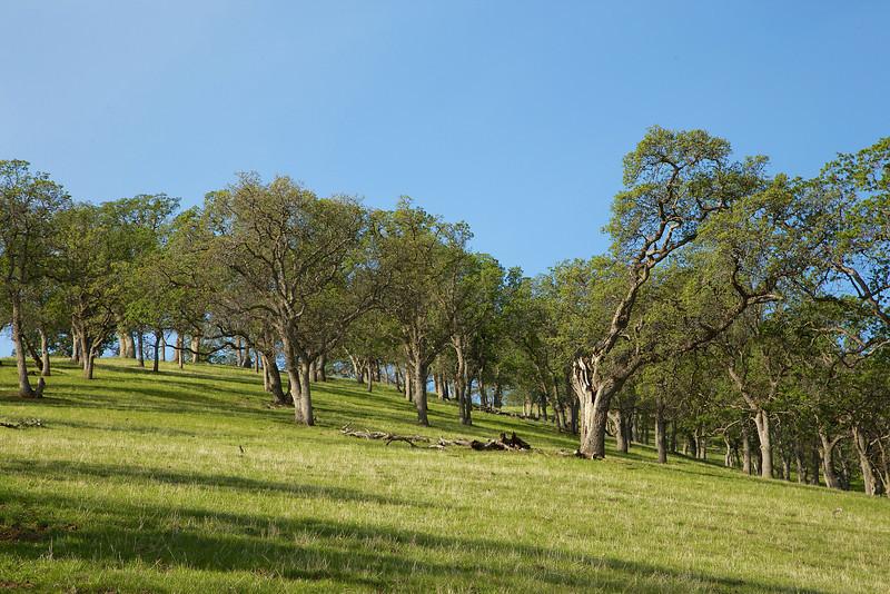 Oak hillside.