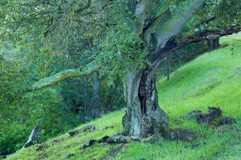 An old oak stretches on a hillside.