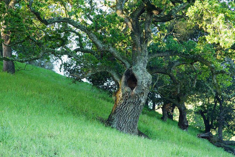 A yawning old oak on a hillside at Mangini Ranch.