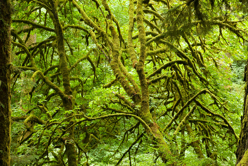 A tangle of mossy branches.