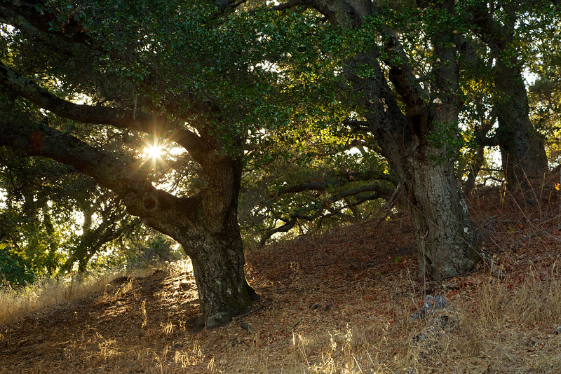 A beautiful oak reaches for one last embrace from the sun