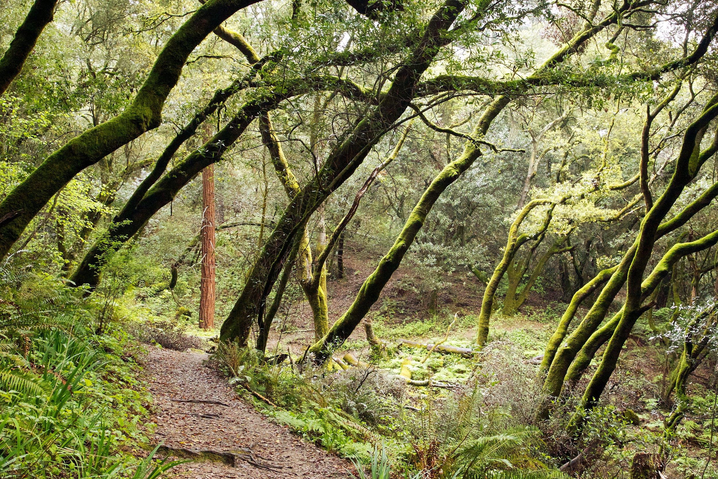 Redwood Forest - Redwood Regional Park