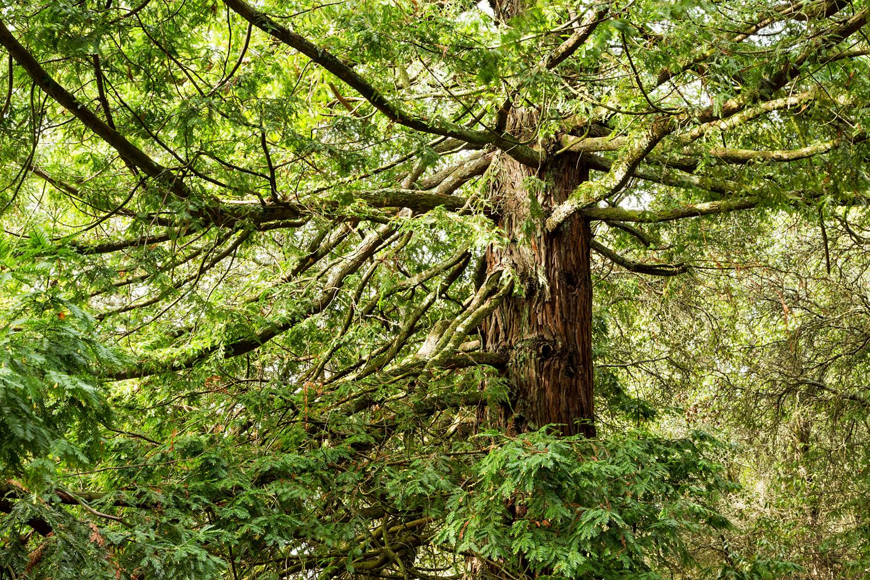 Redwood Regional Park Redwoods_-3.jpg