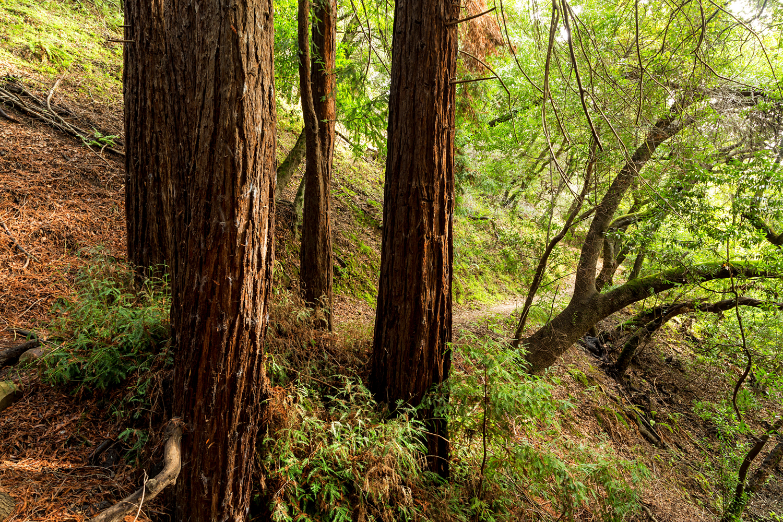 Redwood Regional Park Redwoods_-21.jpg