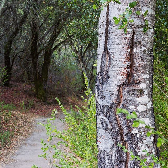 Redwood Trail,  a watershed trail in the Moraga hills... #sunrisehike #relaxation #watershed #findyourtrail #hikingphotography #fallhiking #morninghike #forestbathing #bark #trail
