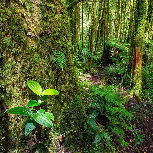 Bansalan Trail, Mt Apo National Park...everywhere life could grow, it was, and the green glow of the forest was energizing... #forestbathing #morninghike #hikingphotography #mtapo #bansalan #itsmorefuninthephilippines #climbing #rainforest #oldgrowthforest #mountainair #mountainside