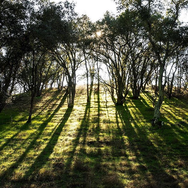 Morning light streaming through an oak hillside in Diablo Foothills Regional Park.  #oaktrees #sunlit #hillside #raysoflight #diablofoothills #hikingphotography #openspace #morninghike #relaxation