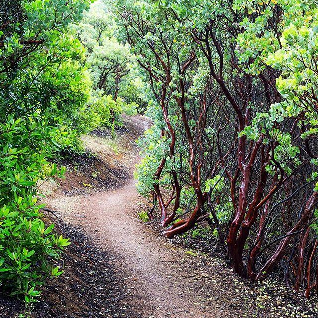 Manzanitas along the Bruce Lee Spring Trail... #manzanita #mtdiablo #statepark #findyourtrail #springhike
