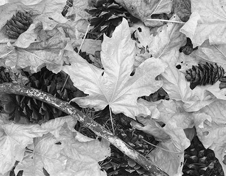 Big Leaf Maples scan.jpg