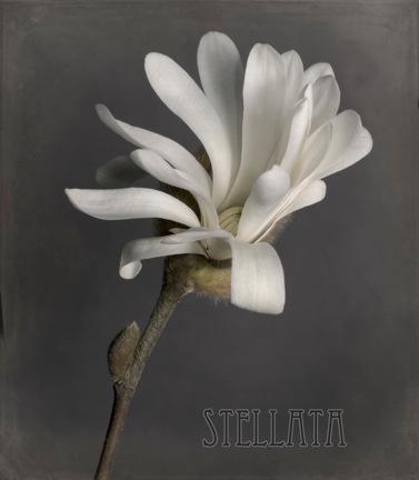 magnolia 717 v2.jpeg