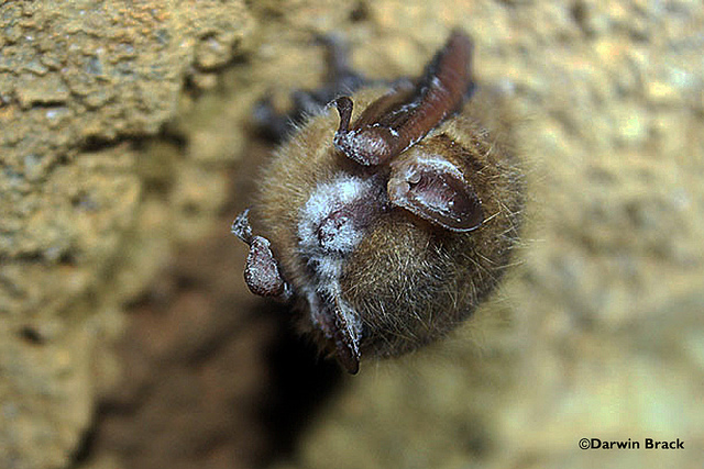 Tri-colored bat with visible signs of WNS.Photo: US Fish and Wildlife Service, Flickr creative commons.