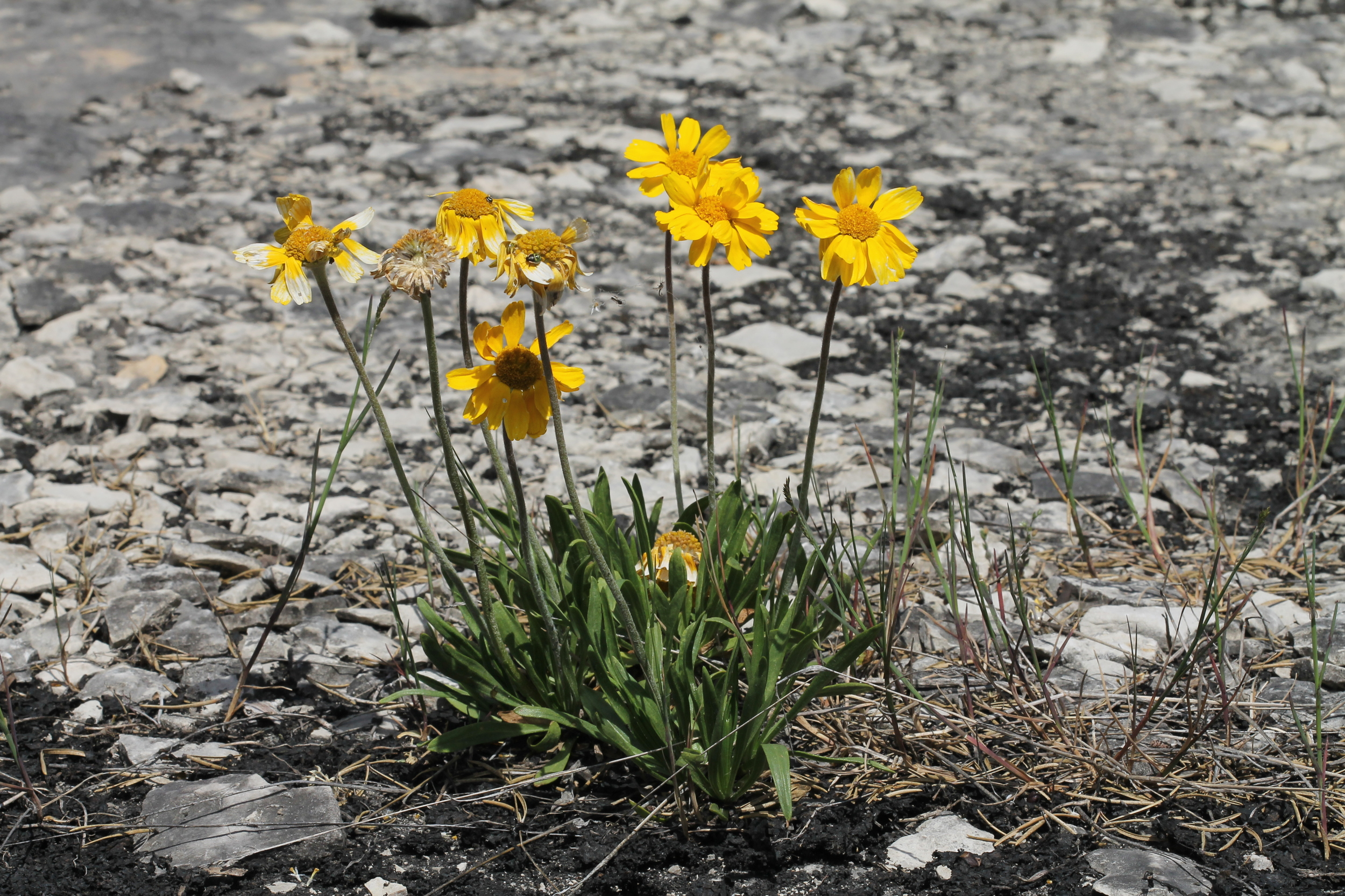 Image by Rob Routledge (Lakeside Daisy, Misery Bay on Manitoulin Island).