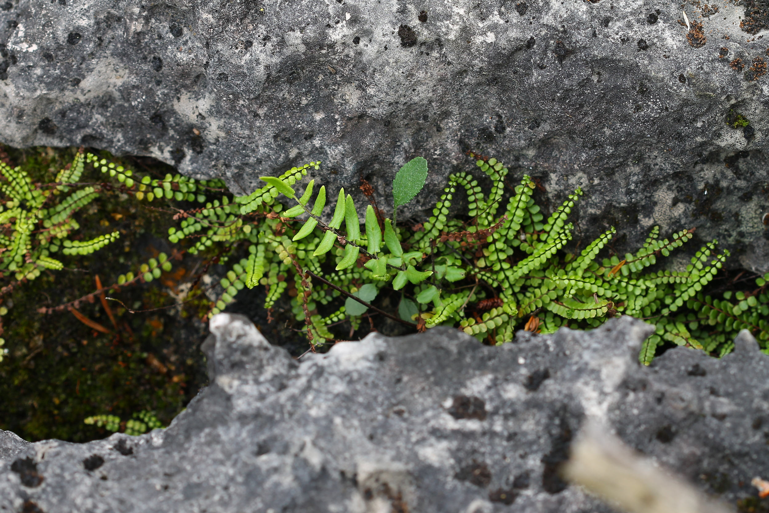 Image by Rob Routledge (Maidenhair Spleenwort, Purple Cliff-Brake, Bruce Peninsula).