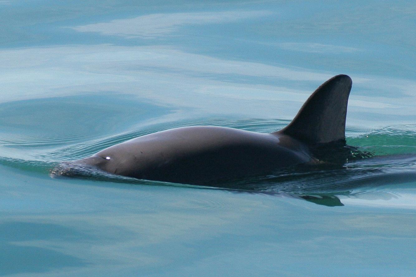 Vaquita, photo taken under permit (Oficio No. DR/488/08)Credit: Paula Olson (NOAA Contractor)