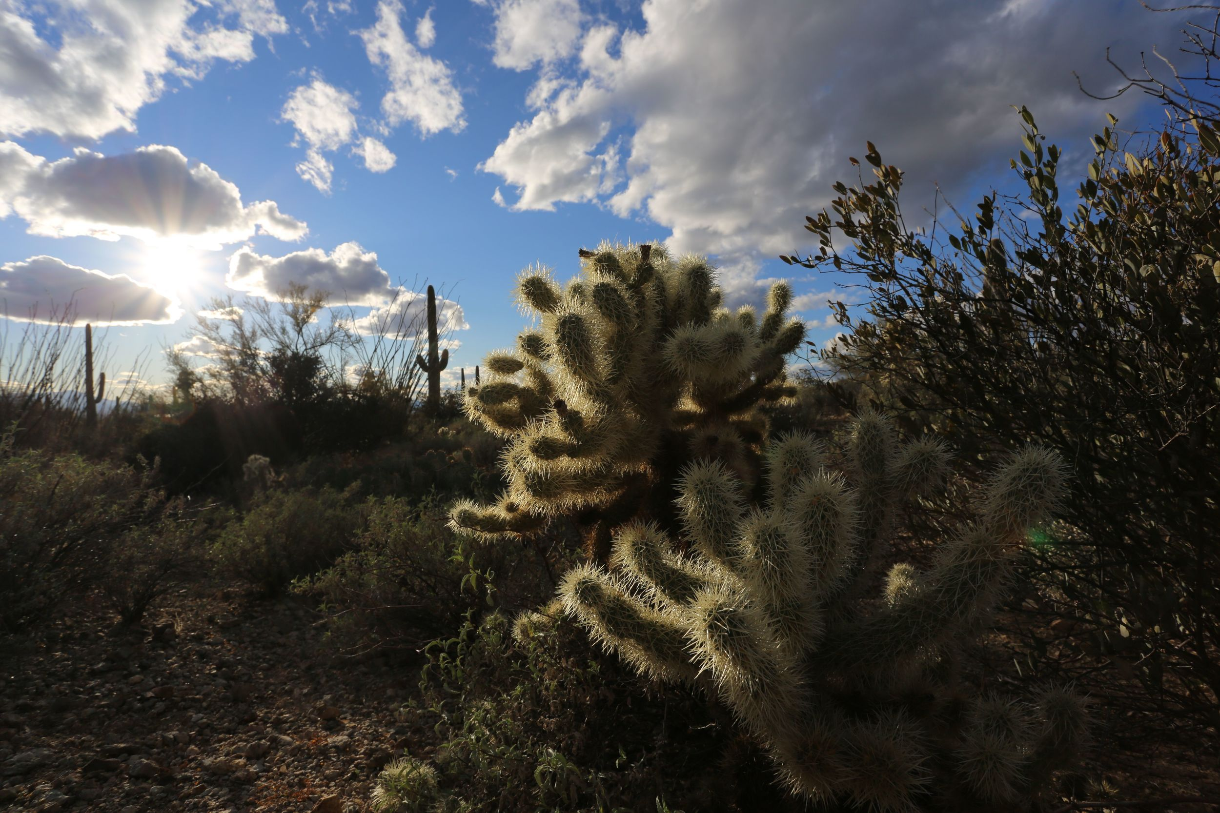A Teddy Bear Cholla shows off its spines in the sun