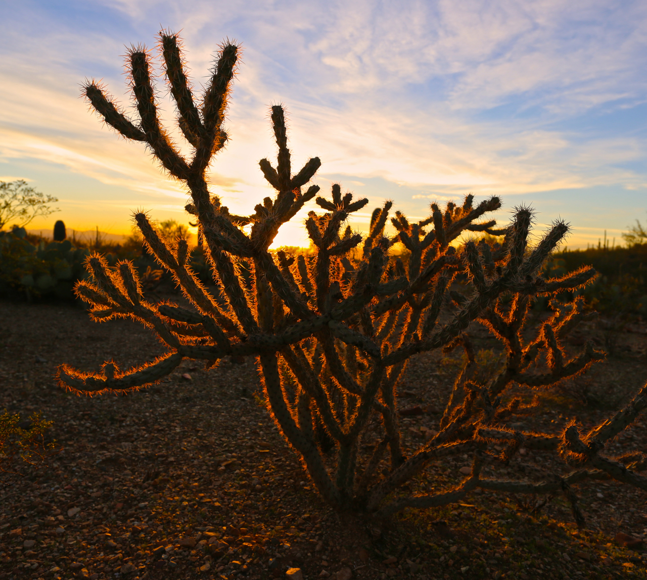 Another species of cacti - the Buckhorn Cholla, reflects a winter sunset.