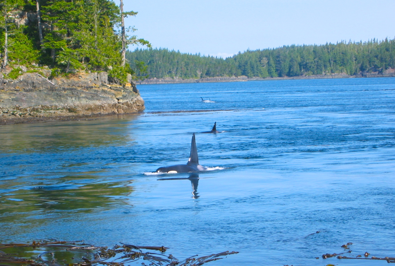 A male Orca and a handful of females surface right offshore from our campsite on a small island in the Johnson Straight, British Columbia.
