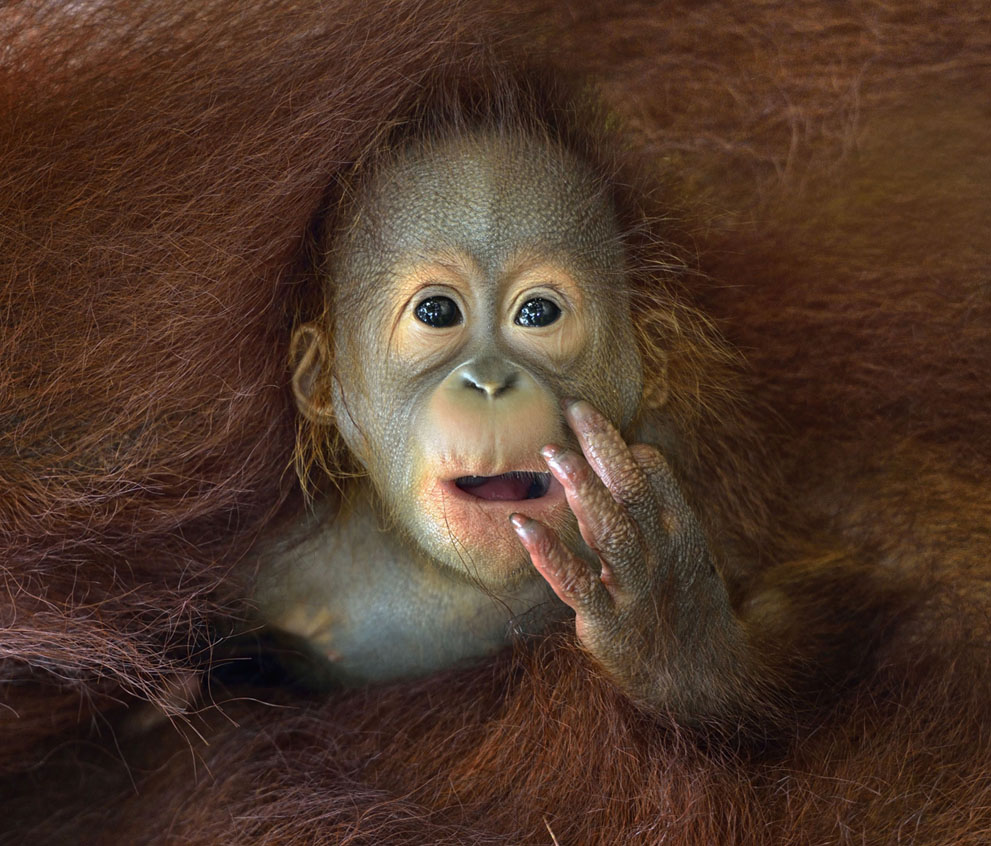"""""""What are you staring at!?"""" A baby orangutan peeks out from his mother's embrace. (Photo by Chin Boon Leng/2014 Sony World Photography Awards)"""