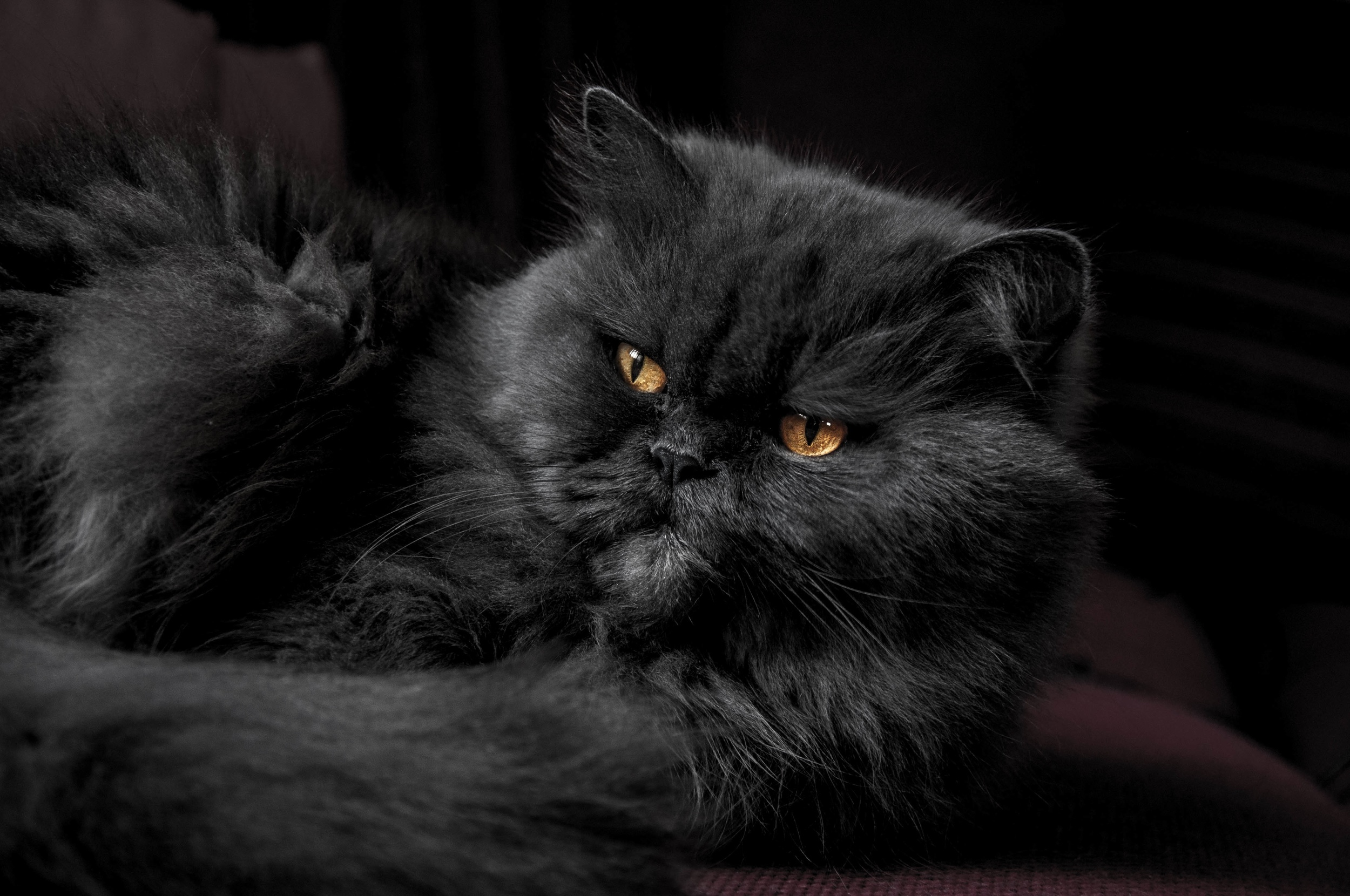 steven ivanov black persian cW Up.jpeg