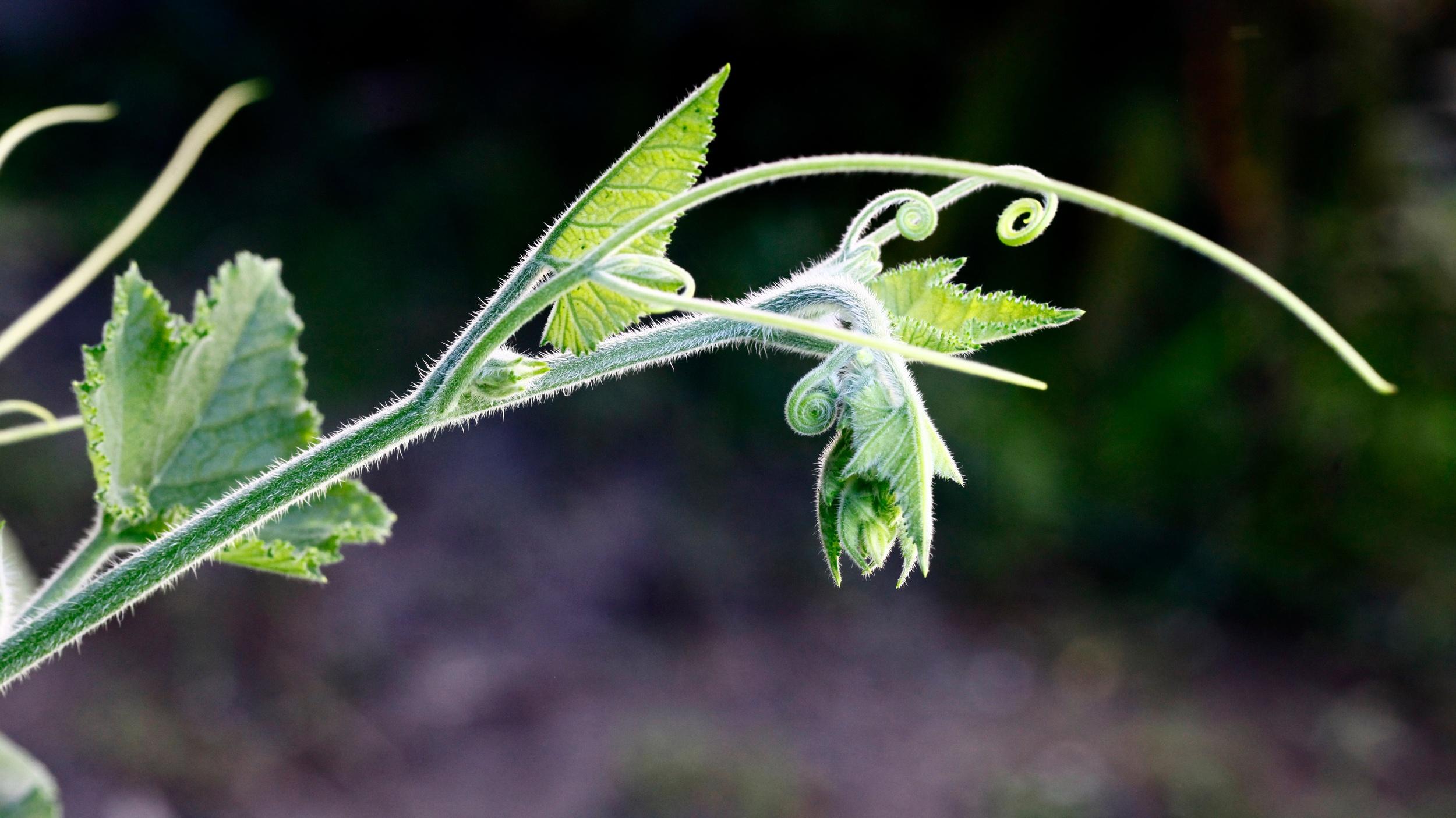ashes situla crysalis maybe on leaf nepal Up cW.jpeg