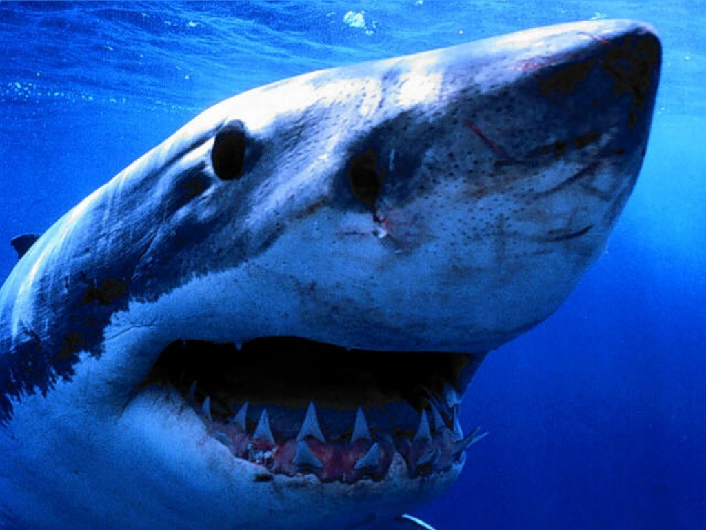 close up of  great white shark