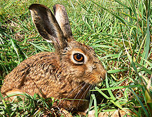 Brown Hare Wikie