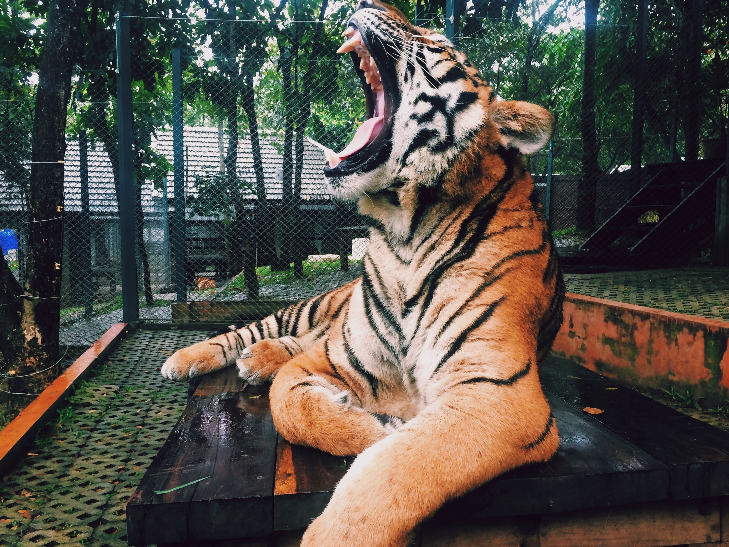 paul borowska tiger 2of 3 Up cW.jpeg