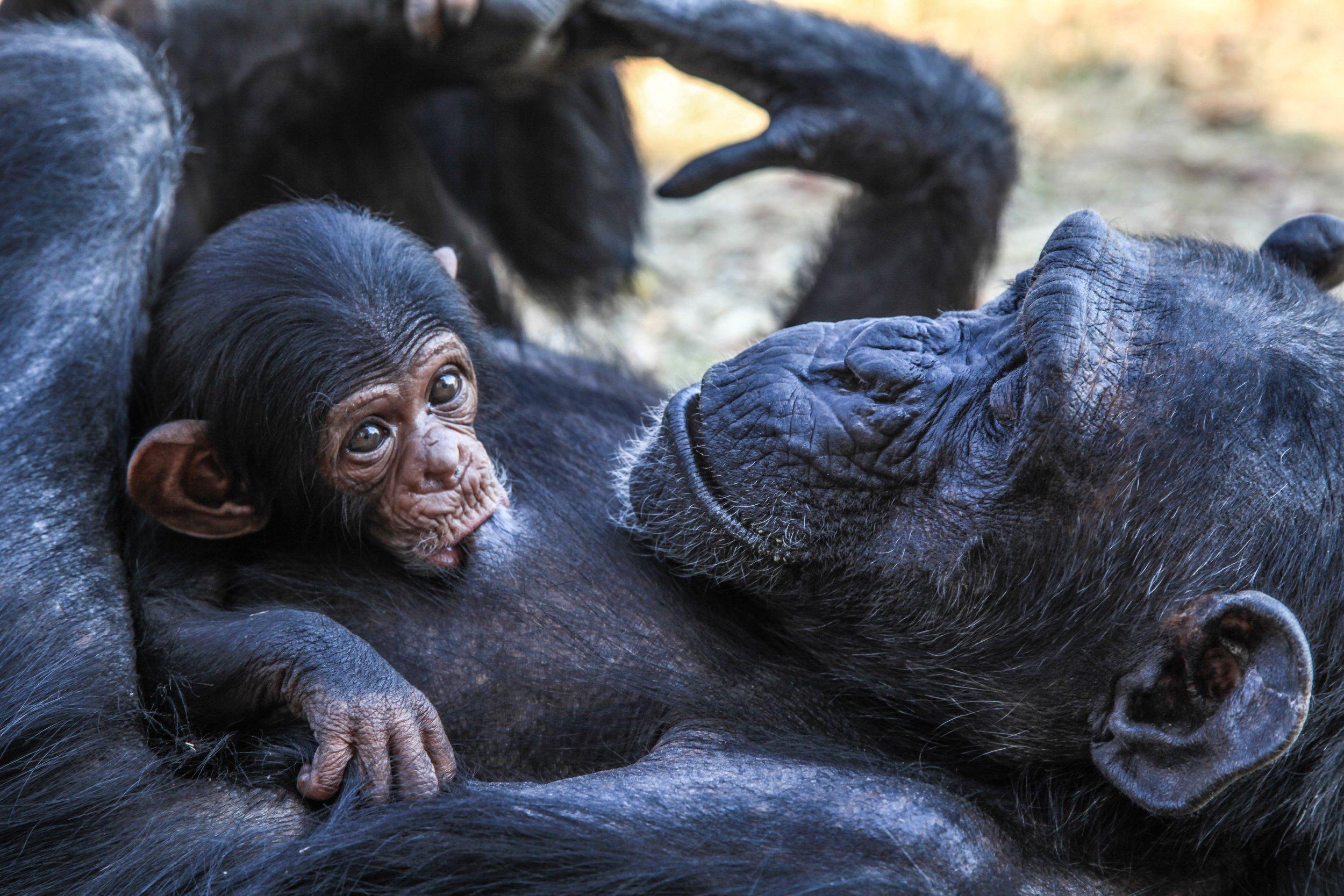 liz bridges gorilla with baby Up cW.jpg