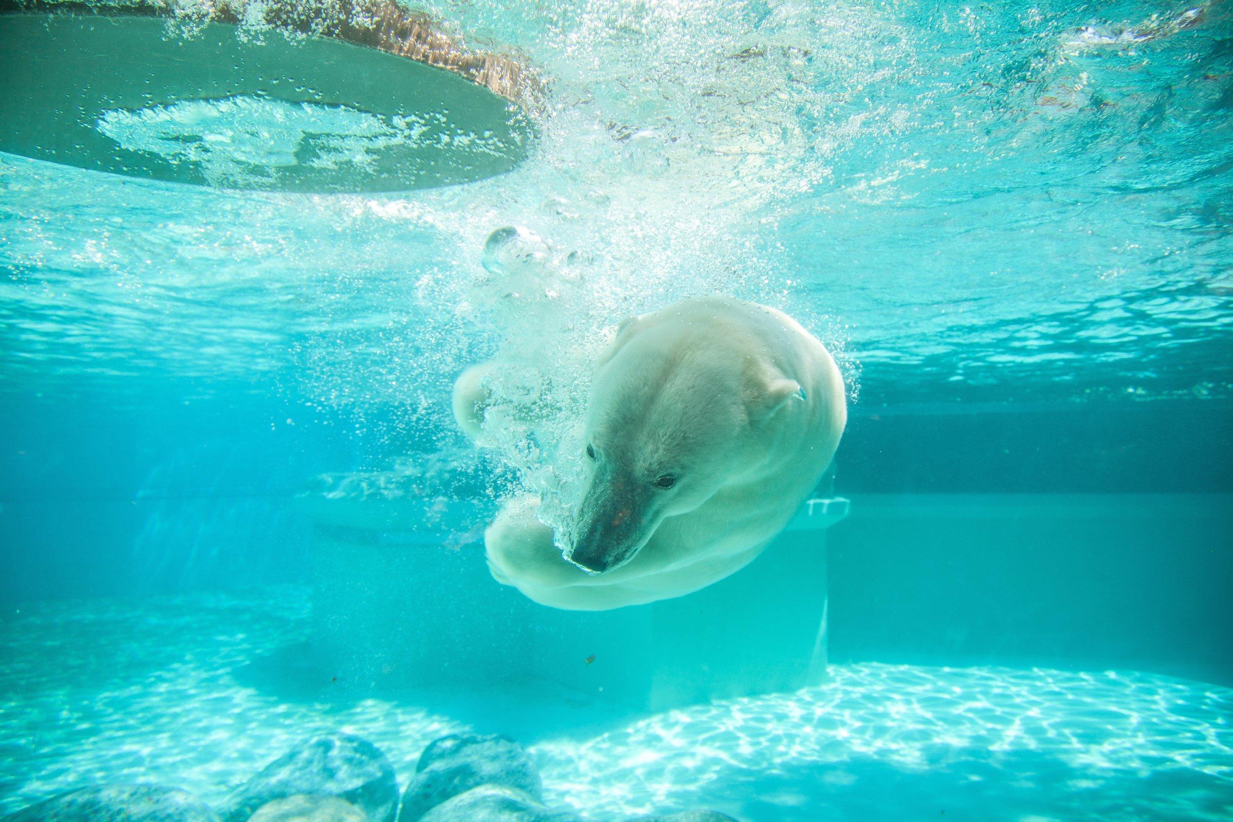matthew mazzei lincolin park zoo chicago Up cW Polar Bear Swim.jpg