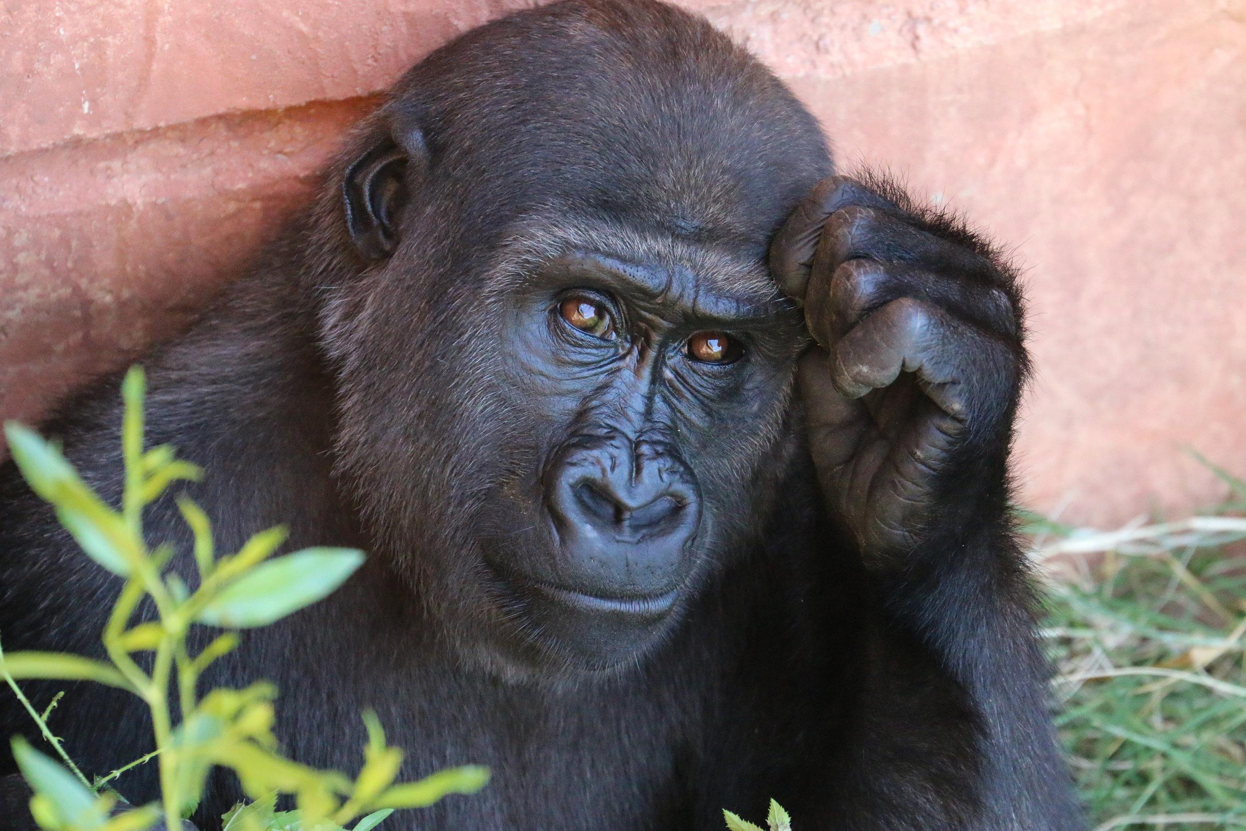 rob schrechise Gorilla Up cW.jpeg